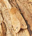(2189) Twin-spotted Quaker (Orthosia munda) - Flickr - Bennyboymothman.jpg