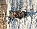 (2338) Rufous Minor (Oligia versicolor) (18761422514).jpg