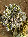 (Nymphaea nouchali) lotus flowers 03.jpg