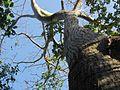Árbol Barrigón o Ceibo Barrigón (Pseudobombax septenatum) 09.jpg