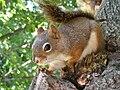 Écureuil enjoué -- Cheerful squirrel.jpg