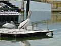 Πελεκάνος στη Λίμνη Ορεστιάδα - Pelican at Lake Orestiada.jpg