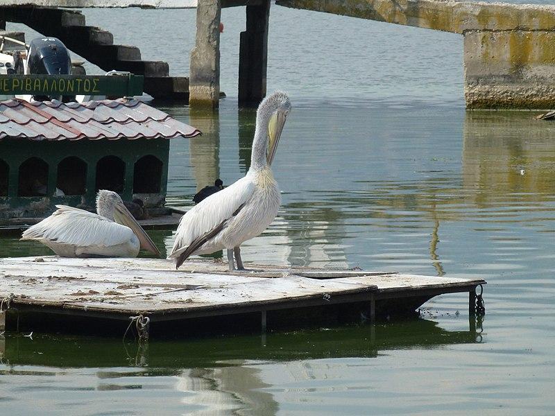 File:Πελεκάνος στη Λίμνη Ορεστιάδα - Pelican at Lake Orestiada.jpg