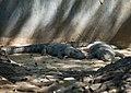 Болотный крокодил Бондла.jpg