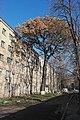 Величавий дуб (Київ), Святошинський район.jpg
