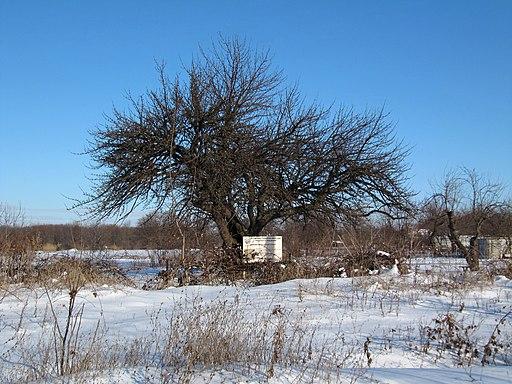 Дерево культурної груші на Катеринівці, взимку - 02