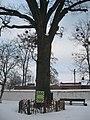 Дуб черешчатий (Полтава, Монастирська 9а) 01.jpg