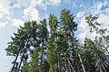 Карпатські ліси.jpg