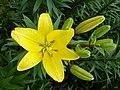 Лилейники в ботанічному саду , літо.jpg
