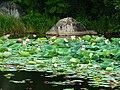 Озеро с лотосами возле поселка Горные Ключи.jpg