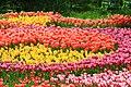 Поля тюльпанов во время ежегодной выставки тюльпанов.jpg