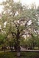 Старая груша - panoramio.jpg