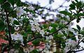Яблоня в цвету - panoramio (1).jpg