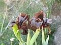 אירוס שחום בנחל תקוע Iris atrofusca Baker Iris loessicola.jpg