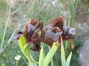 Iris atrofusca - Seen in Tekoa Wadi nature reserve, Israel