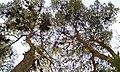 دو کاج - panoramio (1).jpg