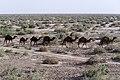 چرای گله شتر - حوالی کاروانسرای دیر گچین قم - پارک ملی کویر 20.jpg