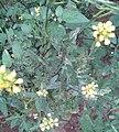 கடுகுச்செடி 1(Brassica juncea).jpg
