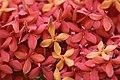 ดอกเข็ม ( Ixora stricta Roxb ) RUBIACEAE (12).jpg