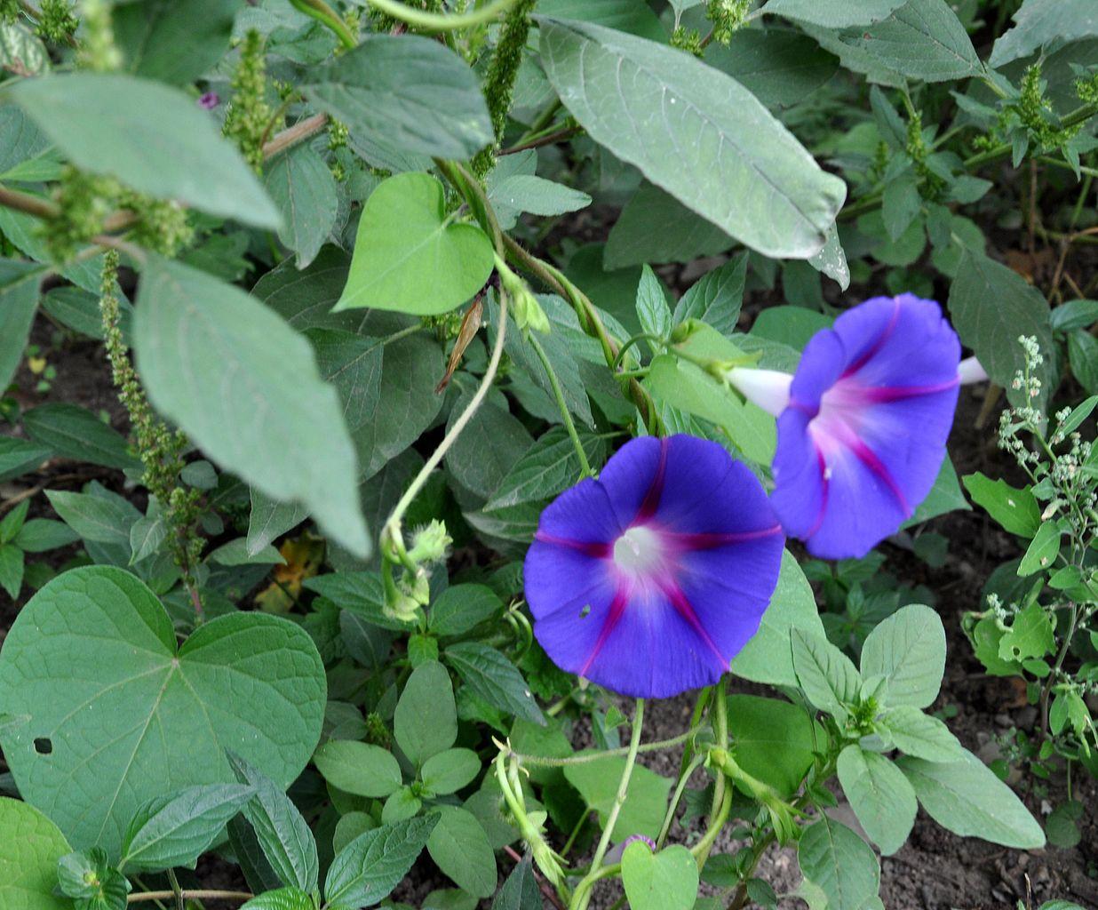 File ipomoea purpurea prunkwinde jpg wikimedia for Ipomea purpurea