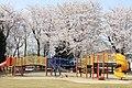 三山公園2011-4-11桜満開 - panoramio.jpg