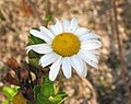 倭菊 Nipponanthemum nipponicum (Chrysanthemum nipponicum) -日本姬路公園 Himeji, Japan- (9229896220).jpg