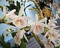 報春石斛 Dendrobium primulinum -香港青松觀蘭花展 Tuen Mun, Hong Kong- (14101432191).jpg
