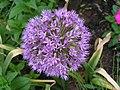 大花蔥 Allium giganteum -瀋陽世博園 Shenyang Expo Gardens, China- (9198132507).jpg
