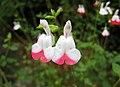 小葉鼠尾草 Salvia microphylla 'Hot Lips' -日本廣島縮景園 Hiroshima Shukkeien Garden, Japan- (35792779035).jpg