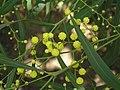 柳葉相思 Acacia saligna -阿姆斯特丹植物園 Hortus Botanicus, Amsterdam- (9213326803).jpg