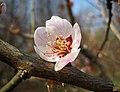 江梅 Armeniaca mume f simpliciflora -南京梅花山 Nanjing, China- (33398279416).jpg