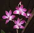 石斛蘭 Dendrobium Berry -香港沙田洋蘭展 Shatin Orchid Show, Hong Kong- (9200883158).jpg