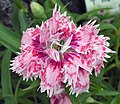 石竹-重瓣 Dianthus chinensis -香港花展 Hong Kong Flower Show- (9447927799).jpg