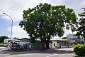 老樟樹 Aged Camphor Trees - panoramio.jpg