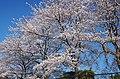 花の文化園の桜 2014.4.01 - panoramio.jpg