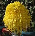 菊花-美髯公 Chrysanthemum morifolium 'Man with Pretty Beard' -香港圓玄學院 Hong Kong Yuen Yuen Institute- (12064916773).jpg