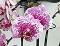蝴蝶蘭-龍樹楓葉 Phalaenopsis Acker's Sweetie Dragon Tree Maple -香港花展 Hong Kong Flower Show- (9252460991).jpg