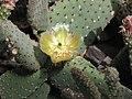 赤烏帽子 Opuntia rufida -倫敦植物園 Kew Gardens, London- (9213337667).jpg
