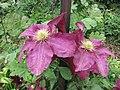 鐵線蓮 Clematis Niobe -巴黎植物園 Jardin des Plantes, Paris- (9198102943).jpg
