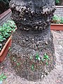 香港 西環 Sai Ying Pun 桂香街 Kwai Heung Street 崇慶里遊樂場 Sung Hing Lane Children's Playground palm tree root February 2019 SSG 06.jpg