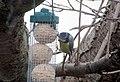-2018-12-01 Blue Tit (Cyanistes caeruleus), Trimingham (2).JPG