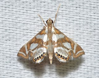 <i>Chrysendeton medicinalis</i> Species of moth