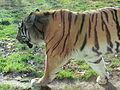 - ITALY - Tigre Siberiana - Parco Natura Viva - Verona-1.JPG
