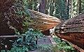 00 0238 Sequoiadendron giganteum.jpg