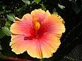 01735jfUnidentified Hibiscus cultivars Philippinesfvf 12.JPG