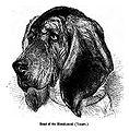 051. Head of Bloodhound.JPG