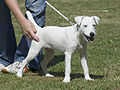 06070946 Parson Russell Terrier white.jpg
