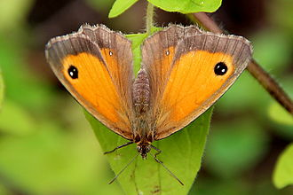 Gatekeeper (butterfly) - Female