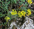 1024 Berg-Steinkraut (Alyssum montanum)-2270.jpg