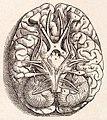 1543, Andreas Vesalius' Fabrica, Base Of The Brain.jpg